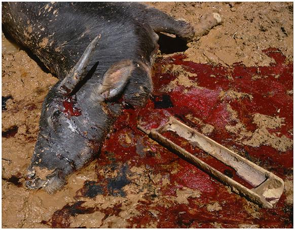 Sacrifice: Tana Toraja
